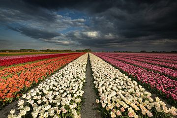 Dutch Tulips von Erik Bilstra