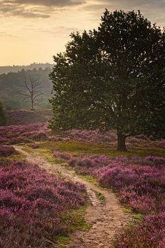 Blühendes Heidekraut auf der Posbank,  Niederlande von Dirk-Jan Steehouwer