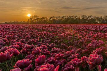 Zonsondergang bij de tulpen. van Erik de Rijk