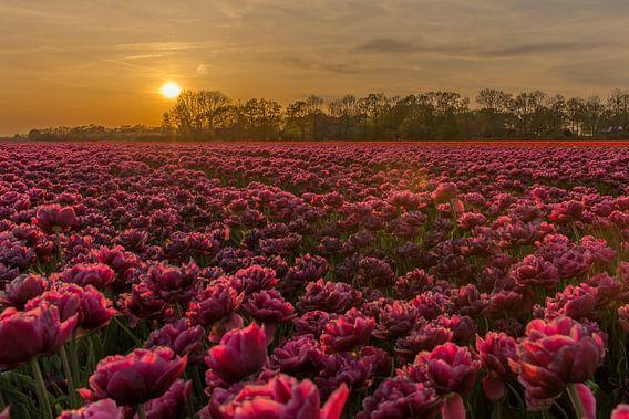 Zonsondergang bij de tulpen.