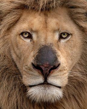 Portrait d'un roi lion blanc sur Patrick van Bakkum