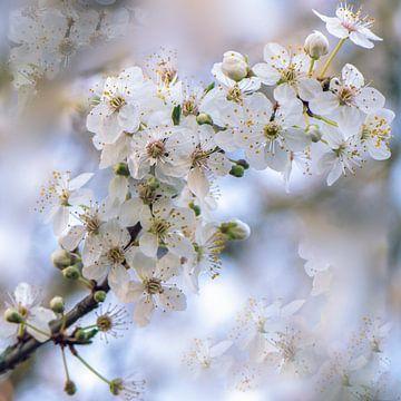 Witte bloesem van Ina Hölzel