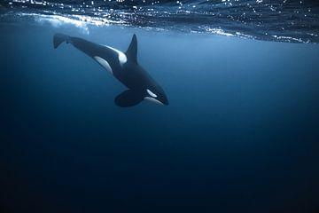 Ein schöner Orca in Nordnorwegen von Koen Hoekemeijer
