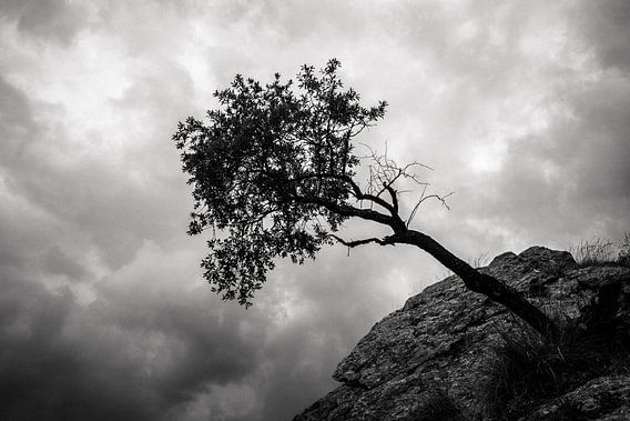 Hangende boom in de Sierra Nevada