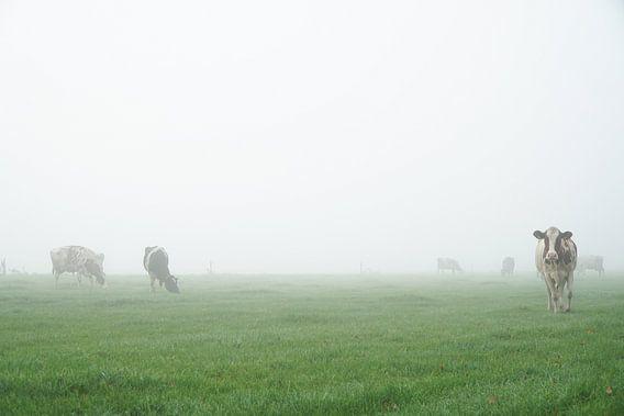 naderende koe in mistig weiland