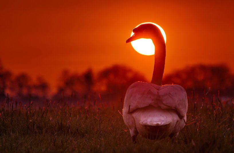 Zwaan tijdens zonsondergang van Martijn van Dellen