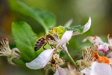 Biene im Blumenkelch von Thomas Heitz