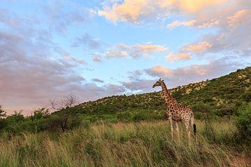Portret van een giraffe (Giraffa) in een groen landschap van Remco Donners