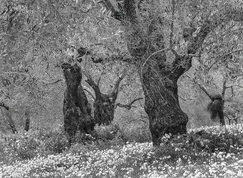 Voorjaar in de oude olijboom boomgaard in zwart-wit