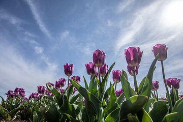 tulpen veld van Gert Slagmolen