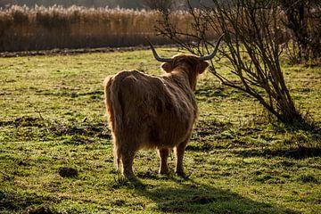 Schotse Hooglanders van Leila Voet
