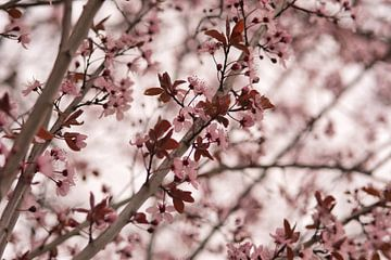 Frühlingsgefühl durch die rosa Blüte am Baum von J..M de Jong-Jansen