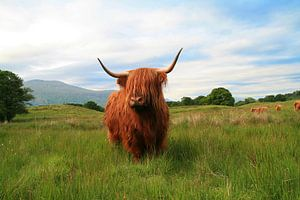 Schotse hooglander van Marly Tijhaar