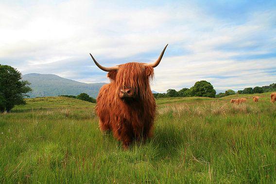Schottisches Hochlandrind (Highlander)