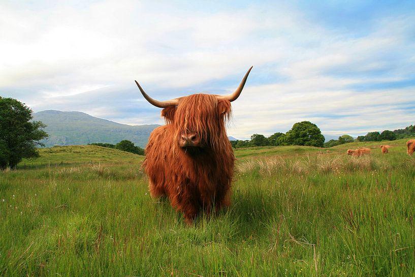 Schottisches Hochlandrind (Highlander) von Marly Tijhaar