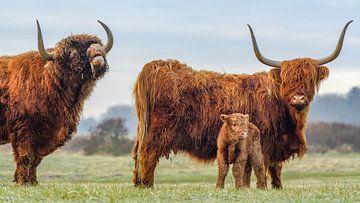 Pa, ma en de kleine - Schotse hooglanders in nederland van Dirk van Egmond