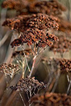 getrocknete braune Blumen im Frühling von Lindy Schenk-Smit