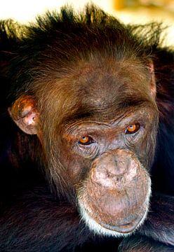 Chimpansee van Vincent Vagevuur