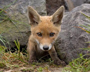 Close-up van een jonge vos