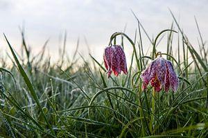 Kievitsbloemen met ijskristallen