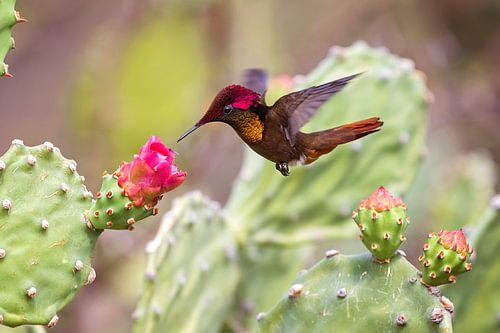 kolibrie van gea strucks