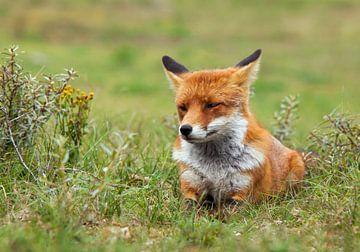 Chilling fox von Eelke Cooiman