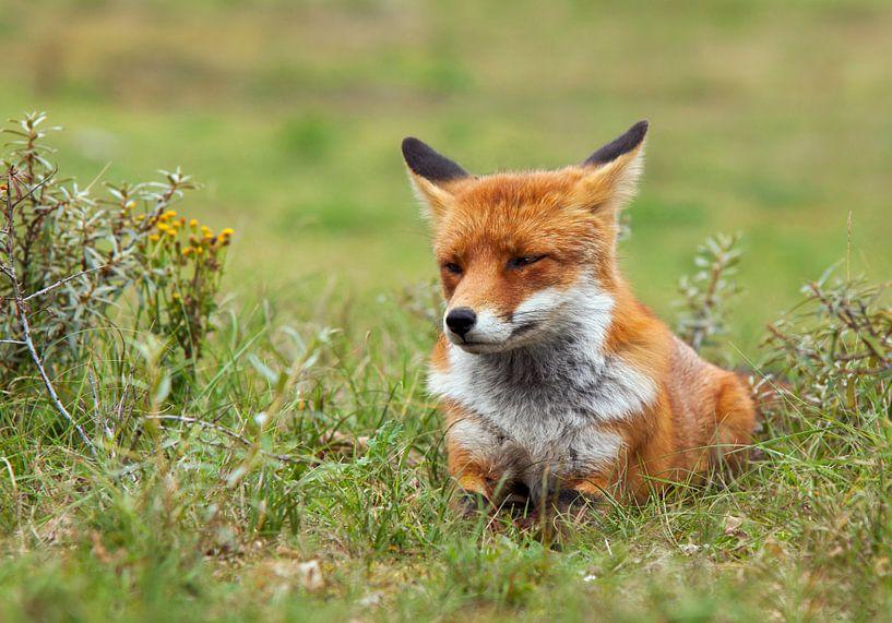 Chilling fox van Eelke Cooiman