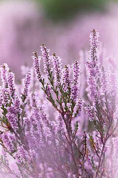 Violettes Heidekraut in Blüte - 1 von Steven Marinus