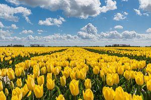Gele tulpen onder een blauwe wolkenlucht