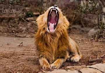 Fatigué, mâchoires entrouvertes, corps puissant. Un lion mâle puissant à la crinière chic se couche  sur Michael Semenov
