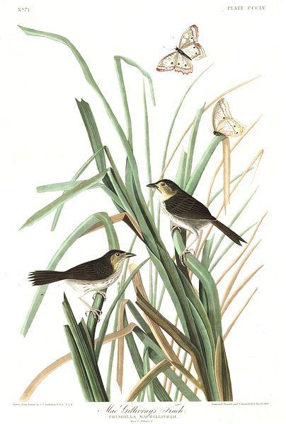 Kweldergors van Birds of America