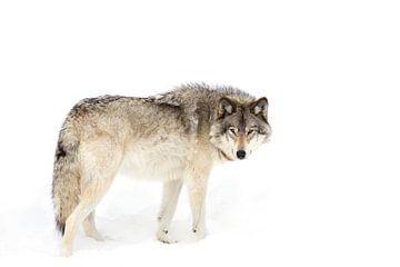 Canadian Timber Wolf zu Fuß durch den Schnee, Jim Cummings von 1x