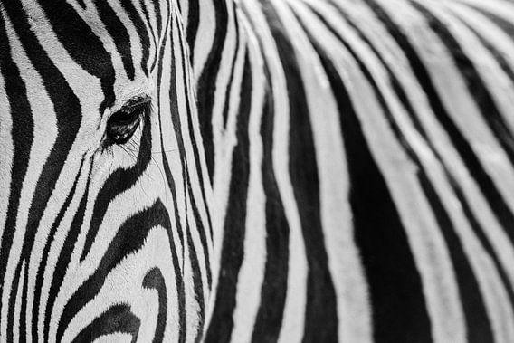 Zwart-wit close-up van een steppezebra / zebra  - Etosha, Namibië