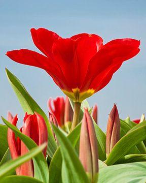 Rode tulp in bloei van Anouschka Hendriks