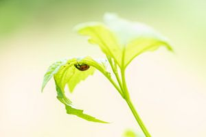 lieveheersbeestje in lentegroen van Annette Schoof