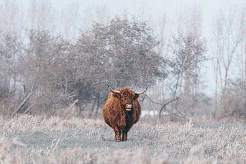 Schotse hooglander 3 van MdeJong Fotografie