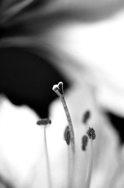 Amarylis hartvormige stamper zwart wit van Mariska van Vondelen