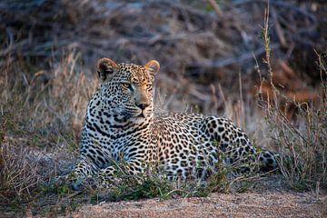 Luipaard in Krugerpark Zuid-Afrika