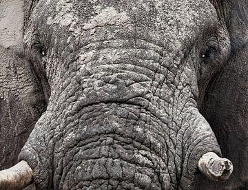 éléphant sur Ed Dorrestein