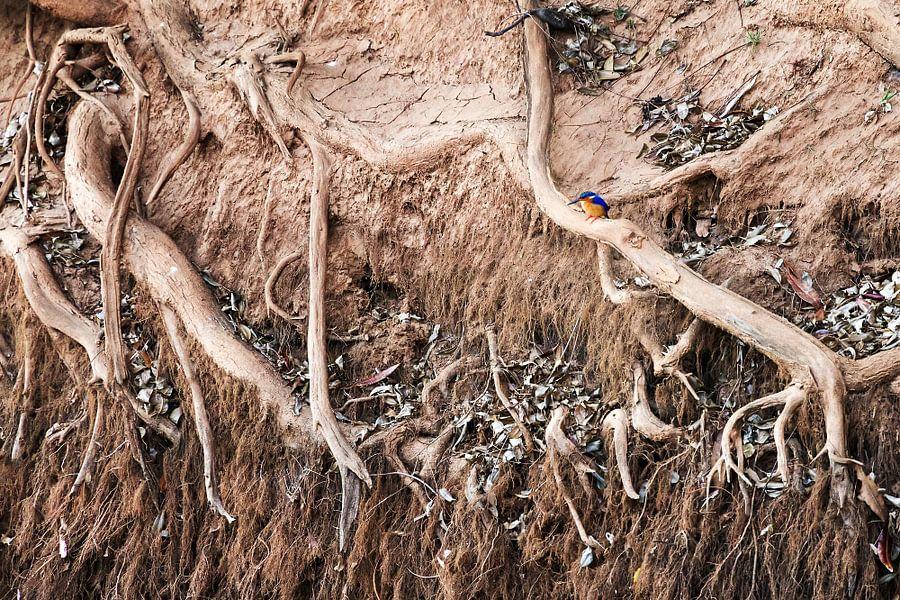 Ijsvogel in Madagaskar van Dennis van de Water
