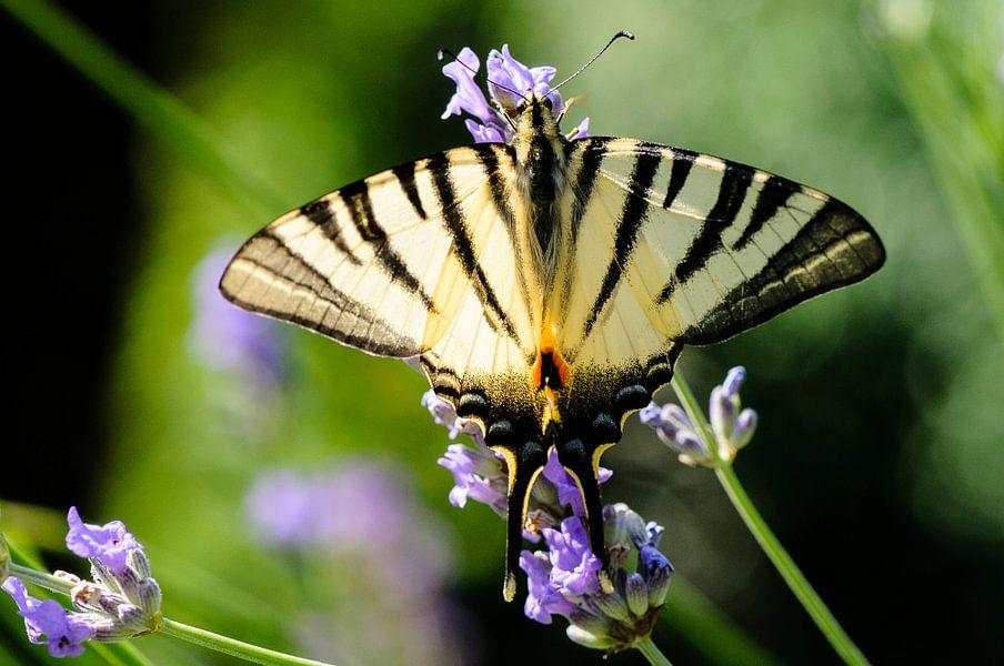 Koningspage. Vlinder op blauwe bloem