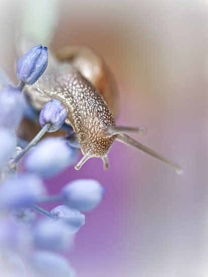 Snail on Grape Hyacinths (2) (bloem, blauwe druifjes, slak) van Bob Daalder