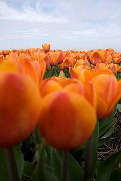 Oranje tulpen van Sandra de Heij