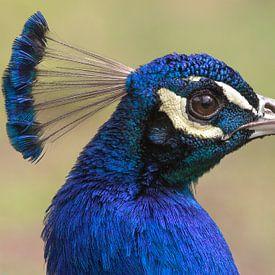 Blauwe pauw (Pavo cristatus) van Eric Wander