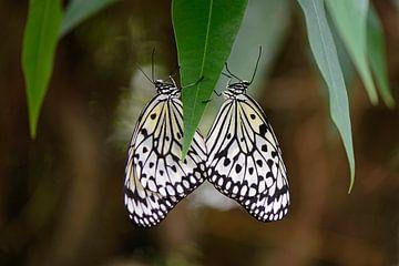 Luconoe vlinder van Barbara Brolsma
