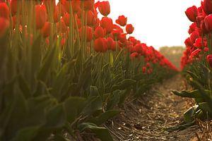 Tulips in line van