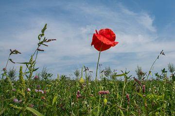 Klaproos in een zomers veld van Kees van der Rest