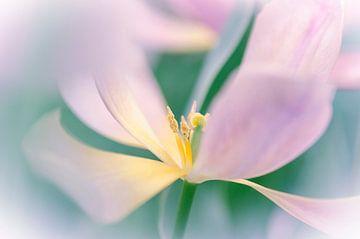 Tulp softfocus van Jeffry J.J van Berkum