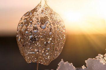 Chinese lantaarnbloem van Thomas Heitz