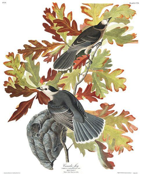 Meisenhäher von Birds of America